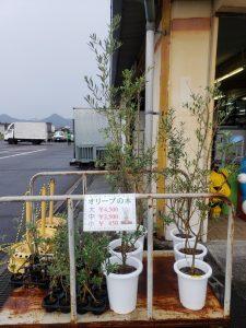 ♡オリーブの苗木大量入荷( *´艸`)♡